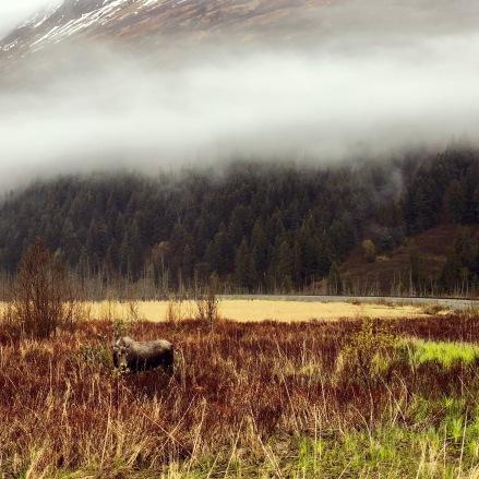 A local moose enjoying breakfast next to the Gird to Bird path.